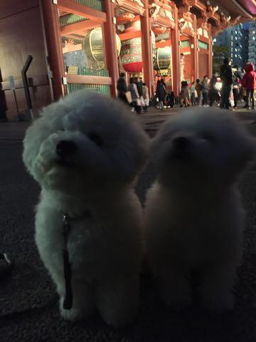 ビションフリーゼ子犬フントヒュッテこいぬ家族募集里親関東_2974.jpg