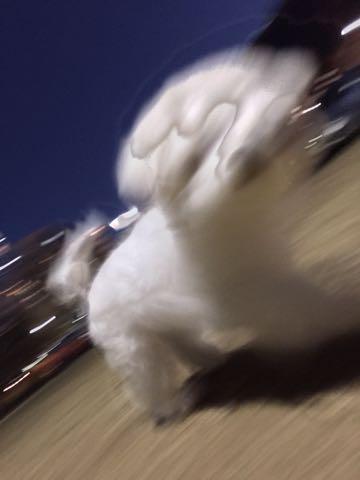 ビションフリーゼ子犬フントヒュッテこいぬ家族募集里親関東_2977.jpg