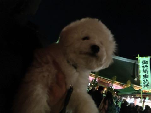 ビションフリーゼ子犬フントヒュッテこいぬ家族募集里親関東_2980.jpg