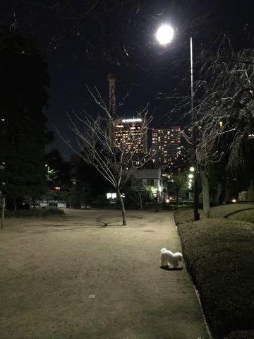 ビションフリーゼ子犬フントヒュッテこいぬ家族募集里親関東_2982.jpg