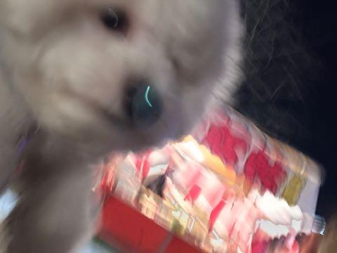 ビションフリーゼ子犬フントヒュッテこいぬ家族募集里親関東_2981.jpg