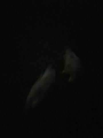 ビションフリーゼ子犬フントヒュッテこいぬ家族募集里親関東_2984.jpg