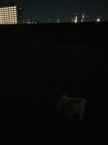 ビションフリーゼ子犬フントヒュッテこいぬ家族募集里親関東_2994.jpg