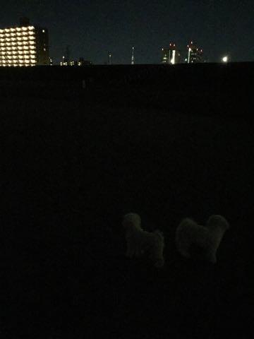 ビションフリーゼ子犬フントヒュッテこいぬ家族募集里親関東_2996.jpg