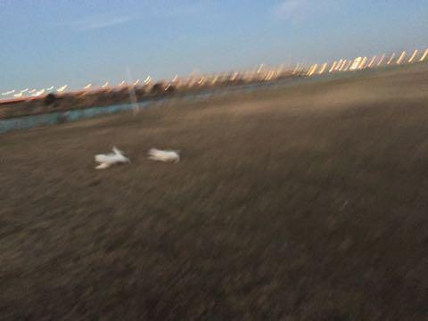 ビションフリーゼ子犬フントヒュッテこいぬ家族募集里親関東_3003.jpg