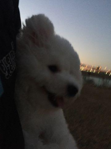 ビションフリーゼ子犬フントヒュッテこいぬ家族募集里親関東_3011.jpg