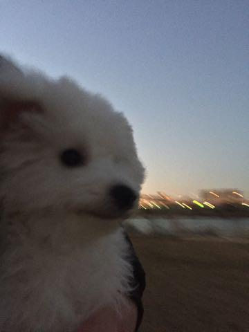 ビションフリーゼ子犬フントヒュッテこいぬ家族募集里親関東_3012.jpg
