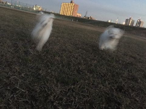 ビションフリーゼ子犬フントヒュッテこいぬ家族募集里親関東_3015.jpg