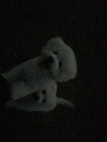 ビションフリーゼ子犬フントヒュッテこいぬ家族募集里親関東_3029.jpg