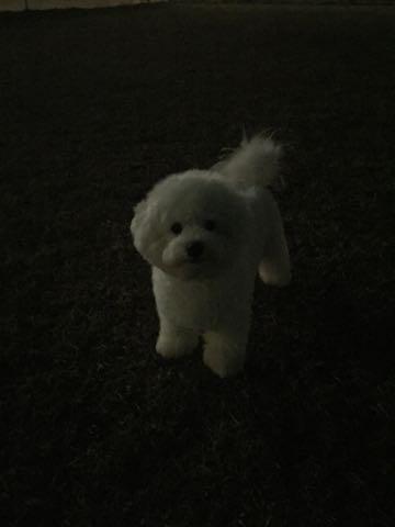 ビションフリーゼ子犬フントヒュッテこいぬ家族募集里親関東_3040.jpg