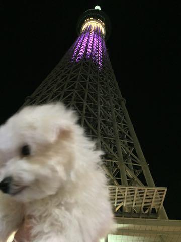 ビションフリーゼ子犬フントヒュッテこいぬ家族募集里親関東_3044.jpg