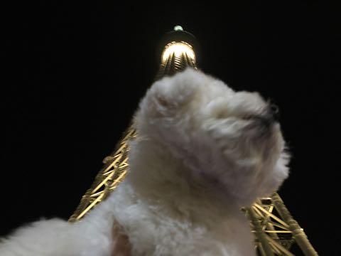 ビションフリーゼ子犬フントヒュッテこいぬ家族募集里親関東_3046.jpg