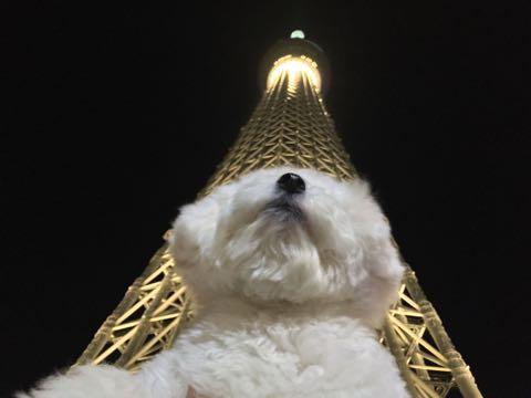 ビションフリーゼ子犬フントヒュッテこいぬ家族募集里親関東_3047.jpg