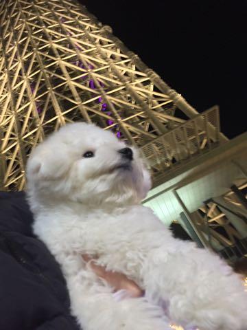 ビションフリーゼ子犬フントヒュッテこいぬ家族募集里親関東_3048.jpg