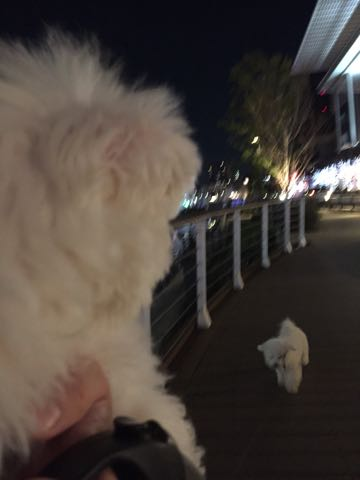 ビションフリーゼ子犬フントヒュッテこいぬ家族募集里親関東_3051.jpg