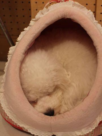 ビションフリーゼ子犬フントヒュッテこいぬ家族募集里親関東_3065.jpg