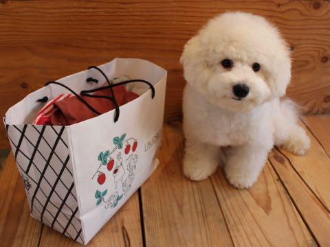ビションフリーゼ子犬フントヒュッテこいぬ家族募集里親関東_3067.jpg