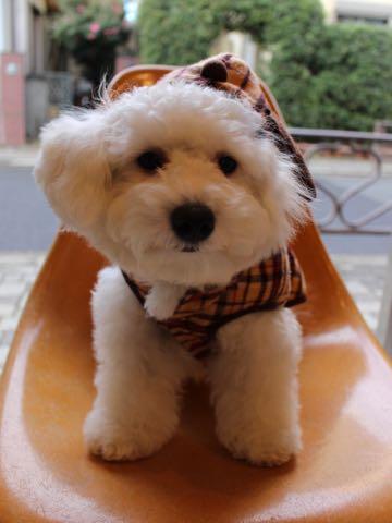 ビションフリーゼ子犬フントヒュッテこいぬ家族募集里親関東_3070.jpg