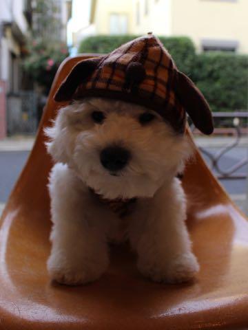 ビションフリーゼ子犬フントヒュッテこいぬ家族募集里親関東_3071.jpg