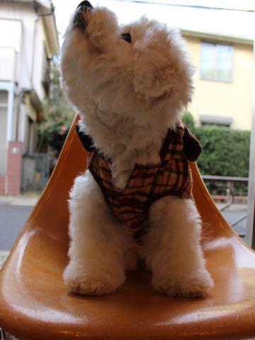 ビションフリーゼ子犬フントヒュッテこいぬ家族募集里親関東_3072.jpg