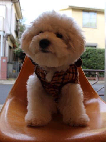 ビションフリーゼ子犬フントヒュッテこいぬ家族募集里親関東_3073.jpg