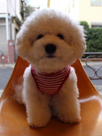 ビションフリーゼ子犬フントヒュッテこいぬ家族募集里親関東_3074.jpg