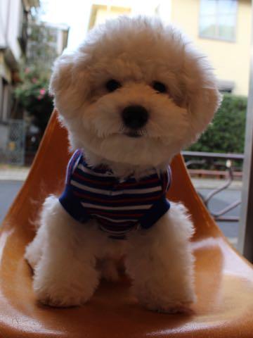 ビションフリーゼ子犬フントヒュッテこいぬ家族募集里親関東_3075.jpg
