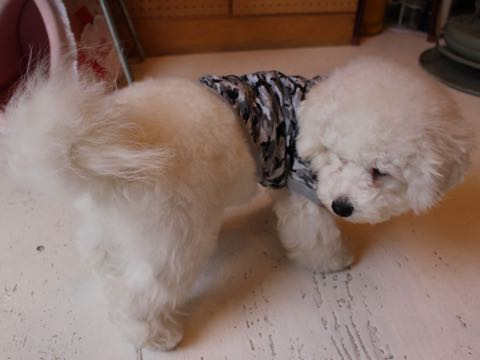ビションフリーゼ子犬フントヒュッテこいぬ家族募集里親関東_3077.jpg