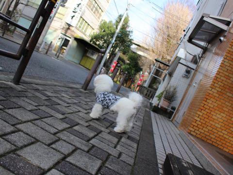 ビションフリーゼ子犬フントヒュッテこいぬ家族募集里親関東_3079.jpg