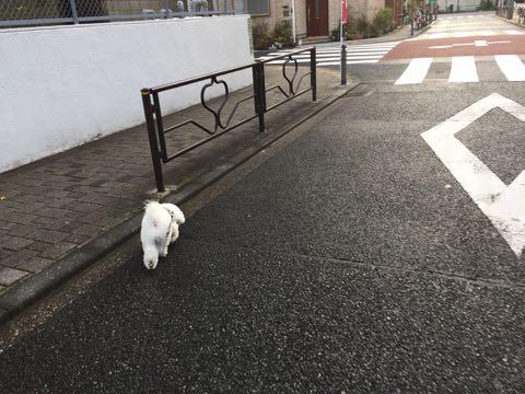 ビションフリーゼ子犬フントヒュッテこいぬ家族募集里親関東_3086.jpg