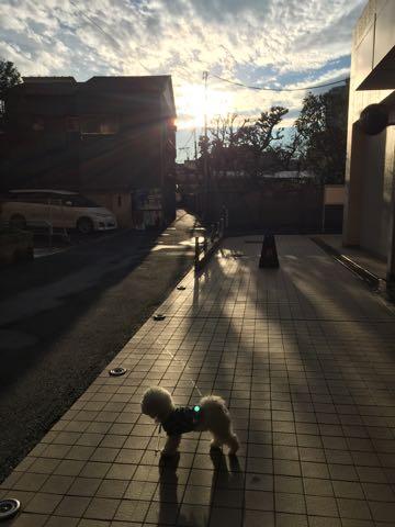 ビションフリーゼ子犬フントヒュッテこいぬ家族募集里親関東_3088.jpg