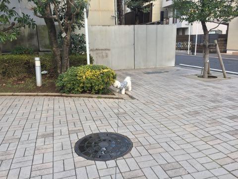 ビションフリーゼ子犬フントヒュッテこいぬ家族募集里親関東_3089.jpg