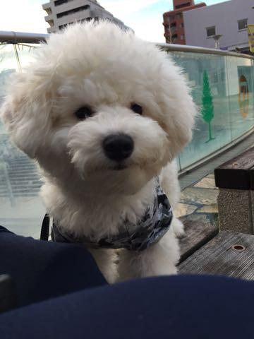 ビションフリーゼ子犬フントヒュッテこいぬ家族募集里親関東_3094.jpg