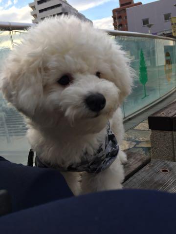 ビションフリーゼ子犬フントヒュッテこいぬ家族募集里親関東_3095.jpg