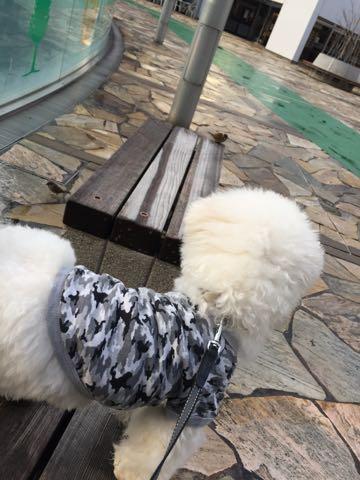 ビションフリーゼ子犬フントヒュッテこいぬ家族募集里親関東_3096.jpg