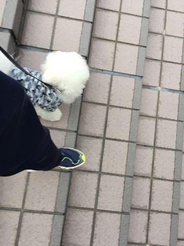 ビションフリーゼ子犬フントヒュッテこいぬ家族募集里親関東_3097.jpg