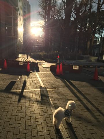 ビションフリーゼ子犬フントヒュッテこいぬ家族募集里親関東_3101.jpg