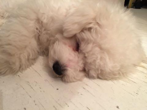 ビションフリーゼ子犬フントヒュッテこいぬ家族募集里親関東_3106.jpg