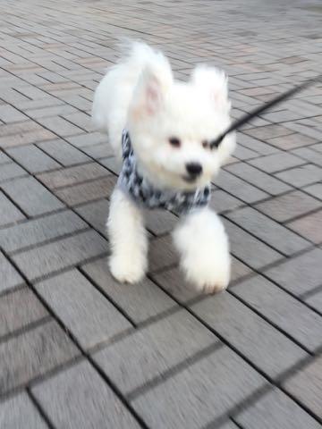 ビションフリーゼ子犬フントヒュッテこいぬ家族募集里親関東_3091.jpg