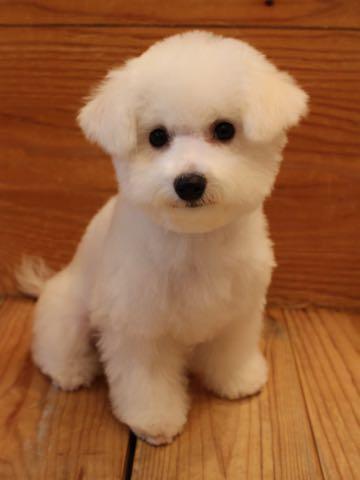 ビションフリーゼ子犬フントヒュッテこいぬ家族募集里親関東_3110.jpg