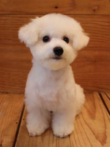 ビションフリーゼ子犬フントヒュッテこいぬ家族募集里親関東_3111.jpg