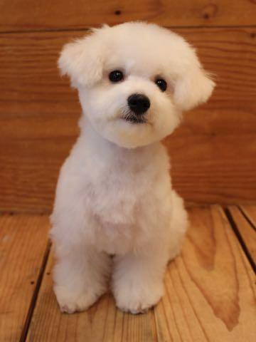 ビションフリーゼ子犬フントヒュッテこいぬ家族募集里親関東_3112.jpg