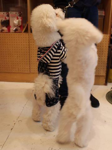 ビションフリーゼ子犬フントヒュッテこいぬ家族募集里親関東_3117.jpg