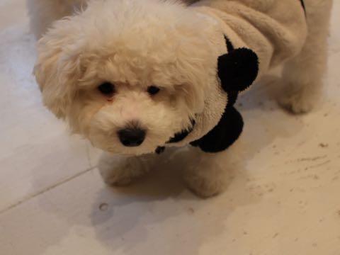 ビションフリーゼ子犬フントヒュッテこいぬ家族募集里親関東_3119.jpg