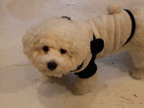 ビションフリーゼ子犬フントヒュッテこいぬ家族募集里親関東_3121.jpg