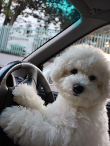 ビションフリーゼ子犬フントヒュッテこいぬ家族募集里親関東_3127.jpg
