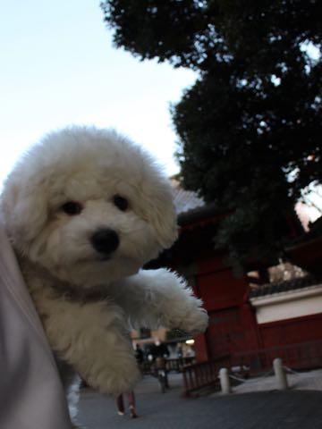 ビションフリーゼ子犬フントヒュッテこいぬ家族募集里親関東_3129.jpg