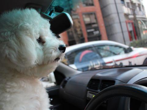 ビションフリーゼ子犬フントヒュッテこいぬ家族募集里親関東_3130.jpg