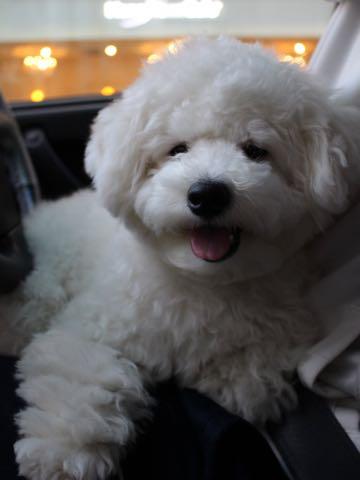 ビションフリーゼ子犬フントヒュッテこいぬ家族募集里親関東_3132.jpg