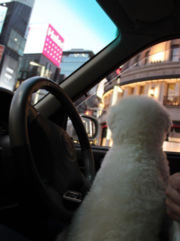 ビションフリーゼ子犬フントヒュッテこいぬ家族募集里親関東_3139.jpg